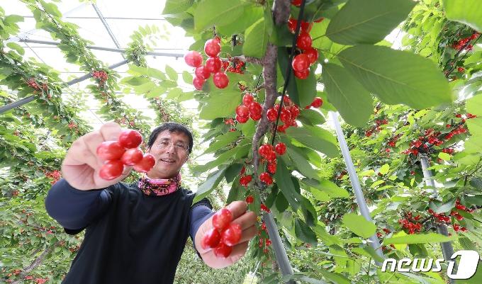 [사진] 지리산 기운 받은 체리 수확