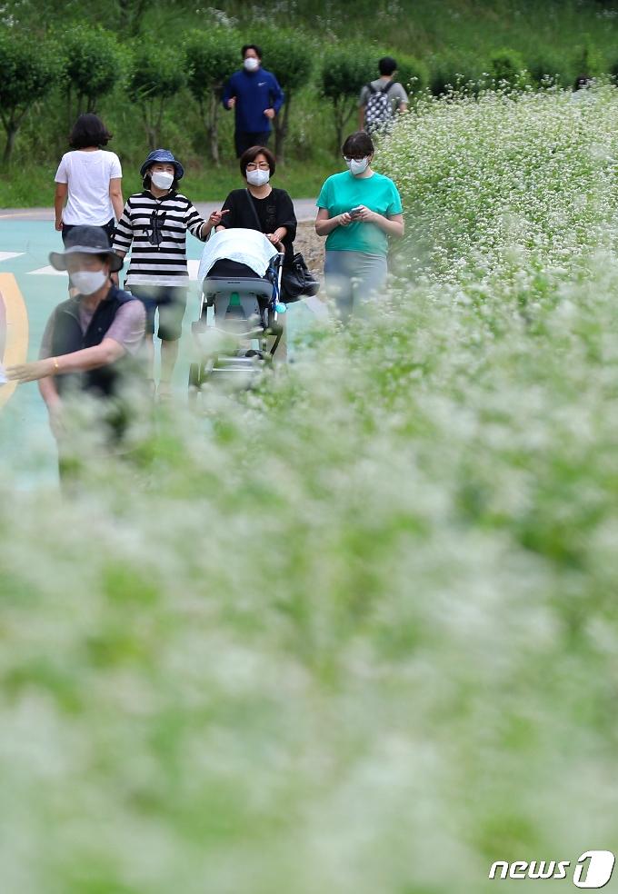 [사진] 눈처럼 하얀 메밀꽃밭