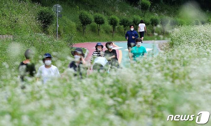 [사진] 양재천 일대에 하얗게 핀 메밀꽃