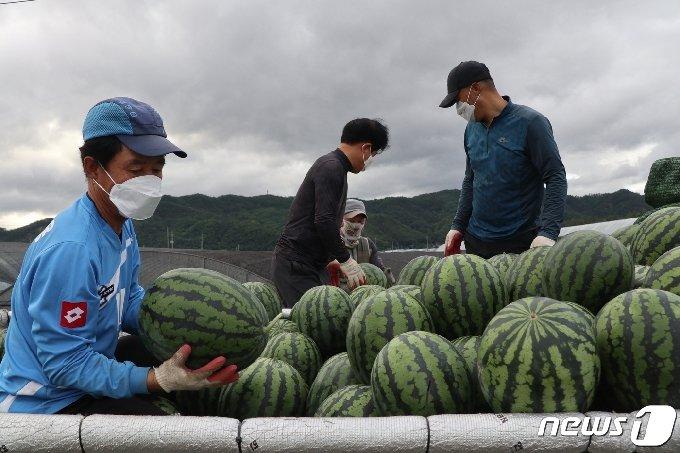 충북 영동의 양산수박을 출하하고 있다.(영동군 제공) © 뉴스1