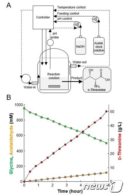개량 효소를 이용한 고순도 D-트레오닌 생산 A)는 D-트레오닌 생산을 위한 반응기 모식도이다. B)는 A와 같이 설치된 반응기에서 기질인 글리신과 아세트알데히드로부터 D-트레오닌이 생산되는 것을 시간별로 측정한 결과이다.(그림제공:생명연)© 뉴스1