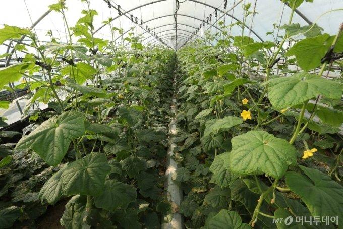 그린랩스의 스마트팜 '팜모닝'을 통해 재배되고 있는 오이 /사진=김휘선 기자 hwijpg@