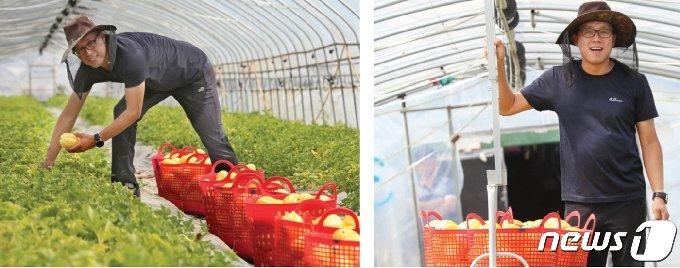 귀농 4년차에 참외농사로 억대농부가 된 김경목씨가 하우스에서 참외를 수확하고 있다. 2021.6.26/© 뉴스1