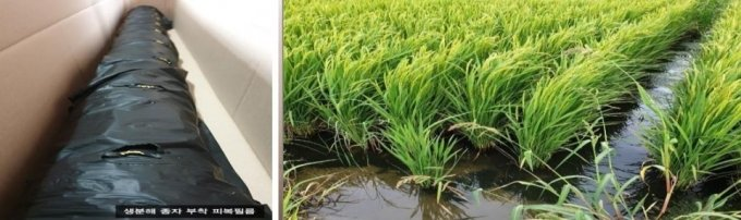 서진바이오텍의 생분해 멀칭필름(왼쪽)과 멀칭필름을 사용한 논/사진제공=서진바이오텍