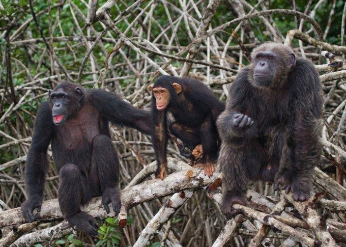 침팬지 무리. /사진=게티이미지뱅크