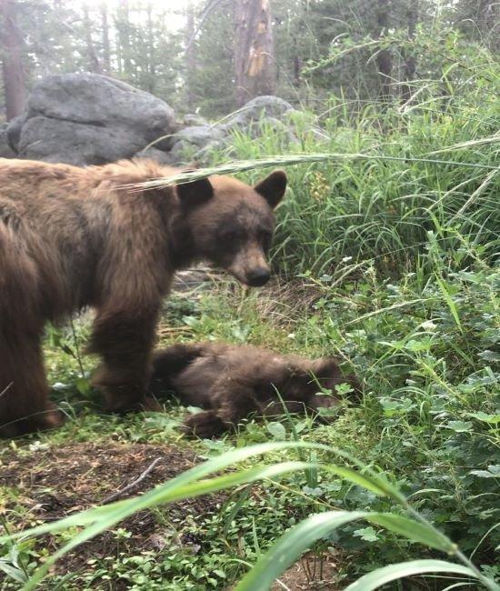 '로드킬' 당한 새끼의 곁을 6시간 동안 지킨 어미 곰의 사연이 전해져 안타까움을 주고 있다. /사진=요세미티 국립공원 페이스북