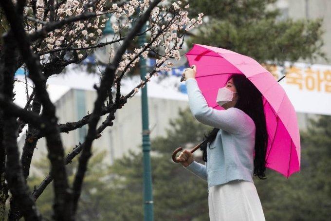 지난 3월 20일 비가 내리는 대전 배재대학교 캠퍼스에서 한 학생이 매화 사진을 찍고 있다. /사진=뉴시스