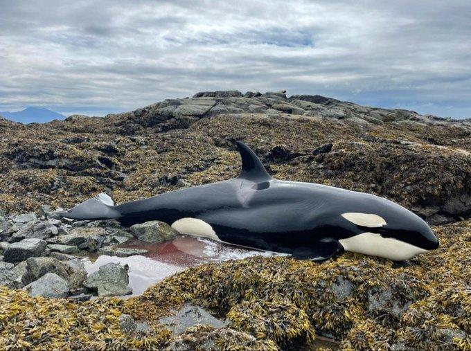 미국 알래스카 해안의 바위 사이에 끼인 범고래가 사람들의 도움으로 6시간 만에 구조됐다.  /사진=트위터 캡처