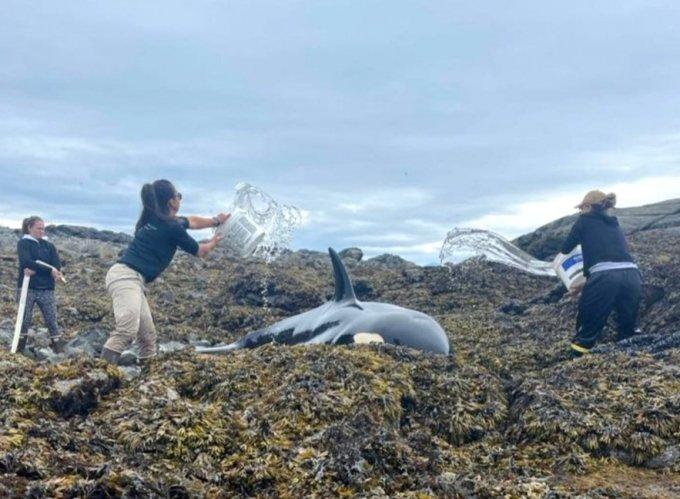 6시간 동안 이어진 구조작전 끝에 밀물이 다시 바위섬까지 들어와 고래가 헤엄쳐 바다로 돌아갈 수 있었다.  /사진=트위터 캡처