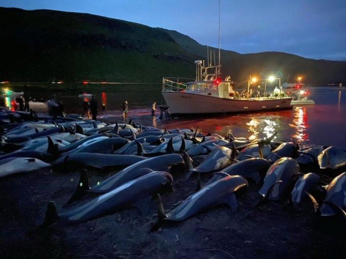 12일(현지 시간) 덴마크 자치령 패로 제도에서 하루에 1400여마리의 흰 줄무늬 돌고래가 사냥당했다. /사진제공=AP/뉴시스