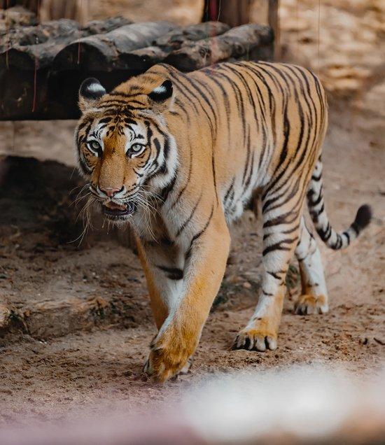 러시아의 한 동물원에서 호랑이를 보여주기 위해 우리에 가까이 다가간 엄마 때문에 어린 아들이 손가락을 잃었다. 사진은 기사 내용과 직접적 관련 없음. /사진=게티이미지뱅크