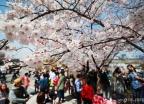 '여의도는 벚꽃 천국'