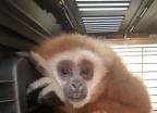 가출한 흰손긴팔원숭이, 주인 찾았지만 동물원으로…왜?