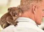 [포토is]호주 코알라 '병실'이 된 빨래바구니
