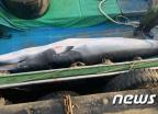 '바다의 로또' 밍크고래 사체, 포항서 발견…2300만원에 팔려