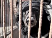죽어야만 철창 나오는 나는, 사육곰입니다(영상)