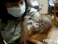 마약 취한 아기 오랑우탄이 가방에…러 남성 '밀반입'