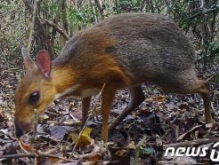 쥐도 사슴도 아닌 '쥐사슴' 30년 만에 발견됐다