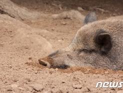 야생 멧돼지가 숲 속의 범죄조직 마약 창고 발견