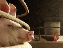 죽은 돼지까지 팔렸다…中 돼지고기 또 비상