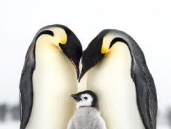 '남극 최강한파 녹이는 황제 펭귄의 가족 사랑'