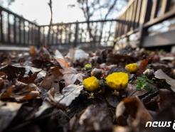 [사진] 홍릉숲에 핀 복수초