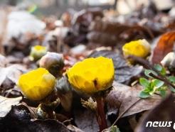 [사진] 봄의 전령 '복수초' 핀 홍릉숲