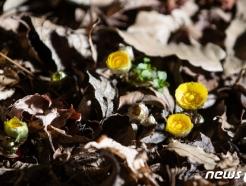 [사진] '봄의 전령' 복수초 활짝 핀 홍릉숲