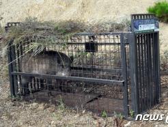 파주·화천 멧돼지서 돼지열병 바이러스 검출… 총 106건