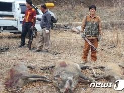 강원 화천 민통선 안서 ASF 감염 멧돼지 폐사체 발견