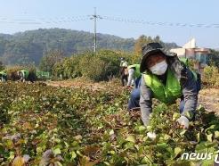 [사진] 농협중앙회 임직원, 수확기 농촌 일손돕기