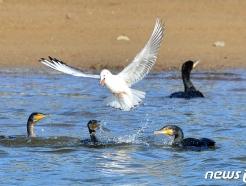 [사진] 붉은부리갈매기 '나눠먹자'