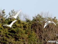 [사진] 안동 찾아온 천연기념물 노랑부리저어새