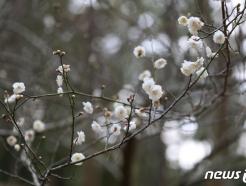 [사진] '제주 한림공원 매화 개화'