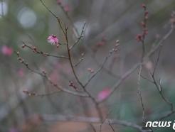 [사진] 봄소식 전하는 매화
