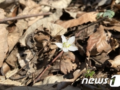변산반도에 봄의 전령사 '변산바람꽃' 개화…3월 중순 절정