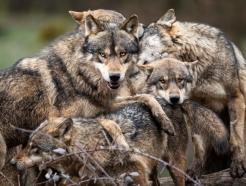 우리 안에 반려견 떨어지자 늑대 7마리가 달려 들었다