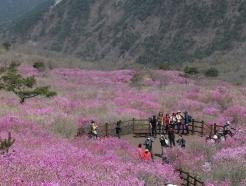[사진] 비슬산 참꽃 만개