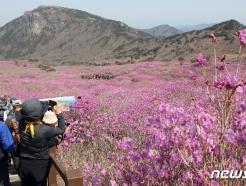 [사진] 비슬산 참꽃 절경