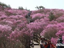 [사진] 참꽃 뒤덮인 비슬산