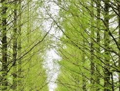 [사진] 봄기운 머금은 담양 메타세쿼이아길