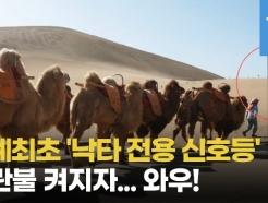 [영상] 中, 세계최초 '낙타 전용 신호등'...파란불 켜지자 진풍경(?)이
