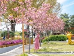 [풍경] 증평 곳곳에 만개한 겹벚꽃