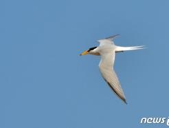[화보]수천㎞ 날아 포항 찾은 멸종위기 쇠제비갈매기
