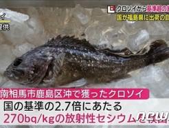 '또 잡혔다' 후쿠시마 생선에서 세슘 기준치 2.7배 초과