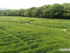 [사진] 청보리밭 산책