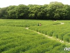 [사진] 상큼한 청보리밭 걷는 시민