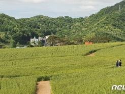 """""""출렁이는 초록물결 보며 힐링하세요""""…천안 밀 재배단지 산책로 조성"""