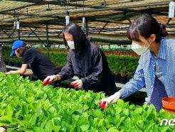 [사진] 농촌 일손돕기 봉사활동 펼치는 전남도 공무원들