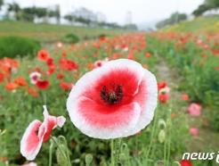 [사진] 활짝 핀 양귀비꽃